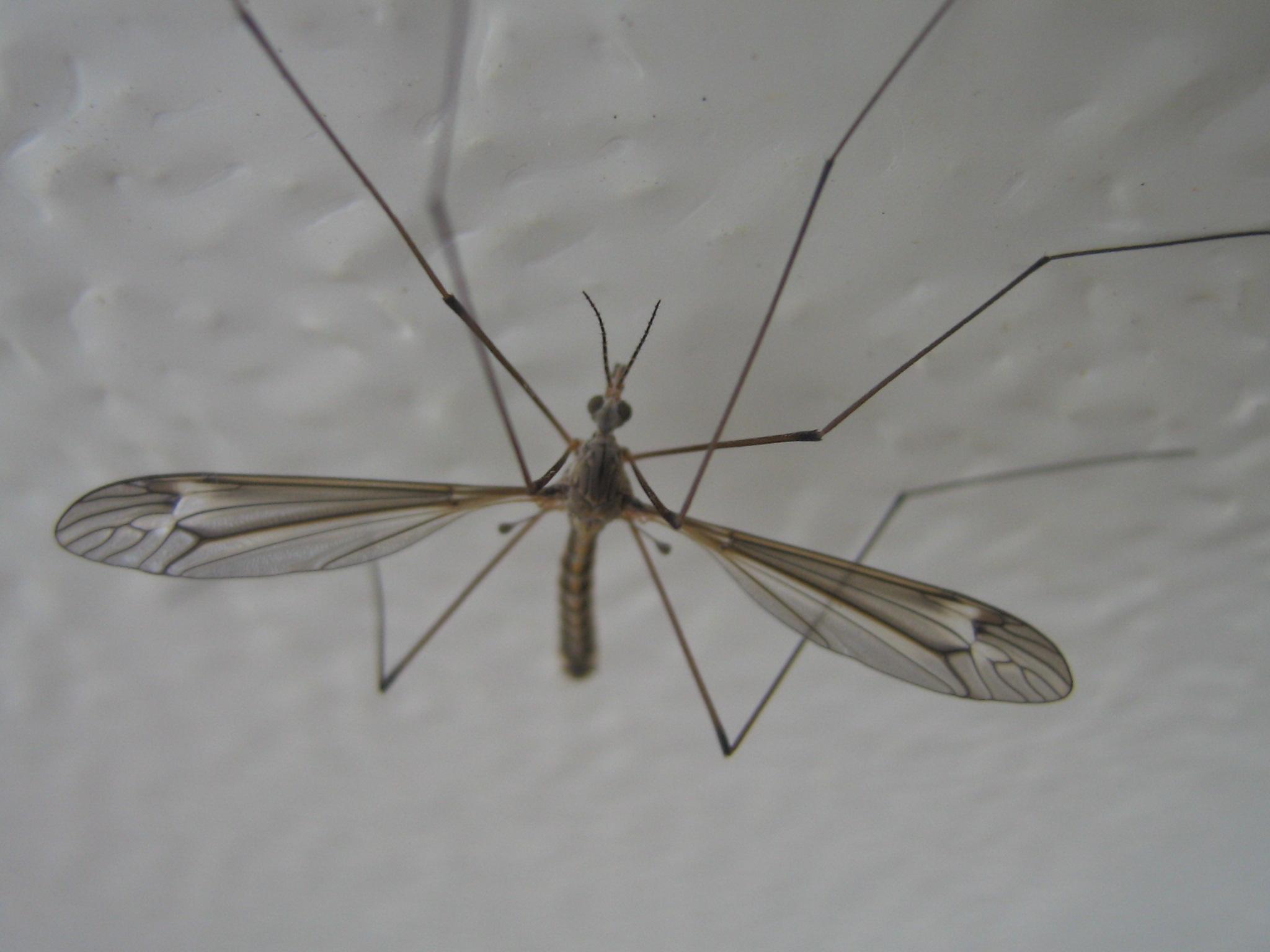 Mosquito de dimensiones bíblicas. | más manuti