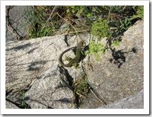 lagarto verde islas cies