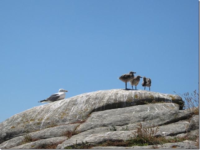 gaviotas-polluelos-islas-cies
